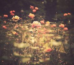 flowers - roses - summer