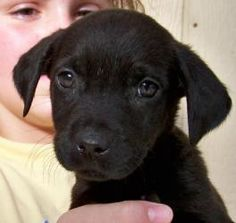 Gavin is an adoptable Black Labrador Retriever Dog in Brookfield, WI. Meet Gavin!  Gavin is a black labrador retriever puppy who is 3 months old as of 12-10-12.   Due to some shuffling around outside ...