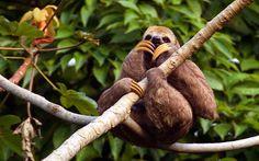 Preguiça-de-três-dedos - Tapajós National Forest - Santarém, Pará