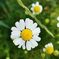 Wer die goldgelben Blütenköpfchen der Kamille ansieht, kann darin – mit etwas Fantasie – eine Sonne ☀ erkennen. Schon den Germanen galt die Kamille als heilig: Sie weihten die Pflanze dem Lichtgott Baldur. Ebenso die Ägypter: Kamille war die Blume des Sonnengottes Re. Seit der Antike wissen Heilkundige auch um die Effekte auf die Gesundheit. So setzten sie die Arzneipflanze damals gegenBlähungen, Leberleiden und Entzündungen aller Art ein. Im Mittelalter entdeckten Kräuterkundige, dass… Baldur, Kraut, Plants, Knowledge, Remember This, Saints, Middle Ages, Antiquities, Fantasy