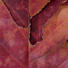 Pantone color for 2015, Marsala - Red oak leaves