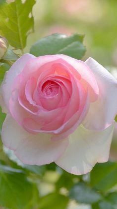Resultado de imagem para rose Purple Roses, Pink Flowers, Beautiful Roses, Beautiful Flowers, Hybrid Tea Roses, Pink Garden, Rose Wallpaper, Love Rose, Flower Pictures