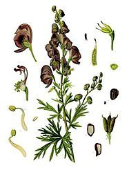 Acônito (Aconitum napellus L.)