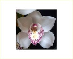 Ann-Marie - Cymbidium - Orchids - Flowers by category | Sierra Flower Finder