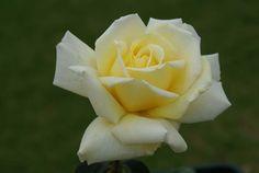 Winter Sun - Ludwigs RosesLudwigs Roses