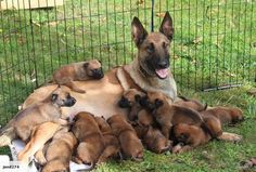 Belgian Malinois and her litter of pups Berger Malinois, Belgian Malinois Puppies, Belgium Malinois, Belgian Shepherd, Dog Shop, Purebred Dogs, Schaefer, Mo S, Working Dogs