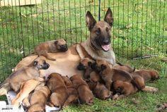 Belgian Malinois and her litter of pups Berger Malinois, Belgian Malinois Puppies, Belgium Malinois, Belgian Shepherd, Dog Shop, Schaefer, Purebred Dogs, Rottweiler, Mo S