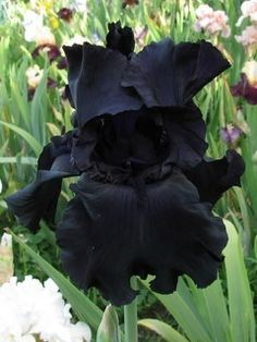 BLACK TIE AFFAIRE iris