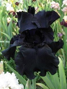 BLACK TIE AFFAIRE iris