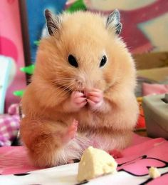 A hamster eating a piece of a banana