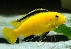 Cichlid Aquarium, Cichlid Fish, Malawi Cichlids, African Cichlids, Tropical Aquarium, Tropical Fish, Aquascaping, Cool Fish, Freshwater Aquarium Fish
