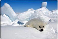 Canada, Quebec, Magdalen islands, harp seal (Phoca groendlica) young, baby Print by CORDIER Sylvain / hemis.fr at Photos.com