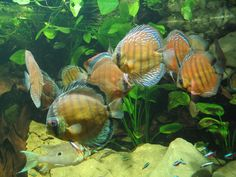 aquariums for discus fish | via steve