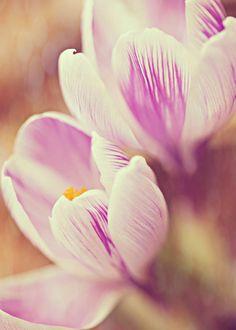 Crocus -  Fine Art Photography, crocus, springtime, spring, blooming, delicate, crocus photo,  home decor, purple, violet