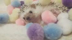 Purin the Hedgehog