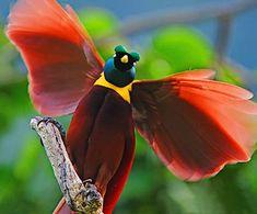 Resultado de imagem para aves do paraiso