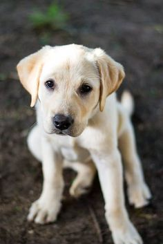 Yellow labs- family dogs-you just can't get mad at them. #labradorretriever