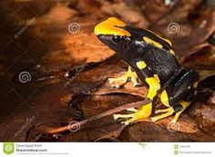 poison dart frog - Google Search