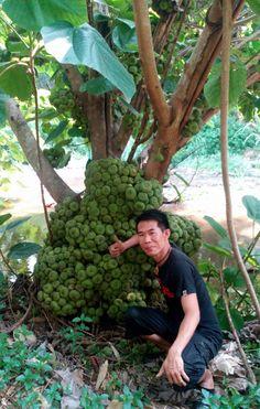 ต้นสยามฟิกส์(มะเดื่อยักษ์ไทย) คนละชนิดกันกับมะเดื่อฝรั่ง(Figs)ครับ ทานได้ครับผลดิบไม่แก่จัดนิยมนำไปแกงหรือจิ้มน้ำพริก ผลสุกจะมีรสออกหวานๆหอมๆหน่อยครับ