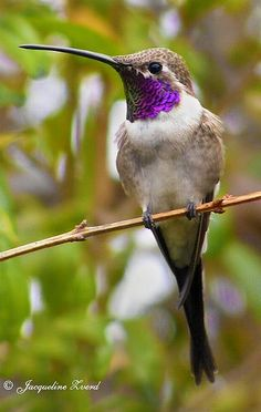 Oasis Hummingbird (Rhodopis vesper) Chile and Peru Pretty Birds, Beautiful Birds, Animals Beautiful, Cute Animals, All Birds, Little Birds, Love Birds, Exotic Birds, Colorful Birds