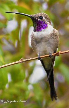 Oasis hummingbird (Rhodopis vesper) | Bahia Inglesa (III), Chile