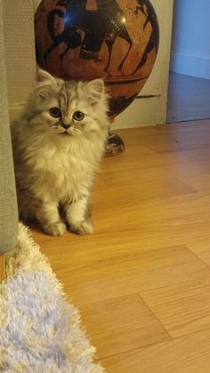 First day at home #persian #cat #yummypets