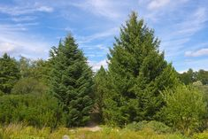The Greek fir (Abies cephalonica) is native to the mountains of Greece that grows up to 35m tall with a 1m wide trunk. It was once widely used for construction but is now too rare. Most specimens are found in parks and large gardens in South Eastern Europe.