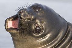 Southern Elephant Seal pup (Mirounga leonina) Sea Lion Island - Falkland Islands www.daisygilardini.com