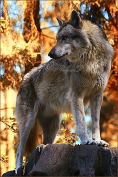 The summer is over, and it´s time for a bit autumn-feeling ~ So here´s a Wolf in a gold-brown area. and I still this photo ♥ • Canon EOS Wolf Photos, Wolf Pictures, Animal Pictures, Artic Animals, Animals And Pets, Cute Animals, Wolf Spirit, Spirit Animal, Beautiful Creatures