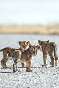 """visualechoess: """" Little cubs - by: Ben McRae """""""