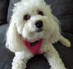 Lola the Maltipoo Pictures 804675