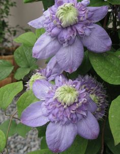 Blue Light® Clematis - Monrovia - Blue Light® Clematis bought from Shulfer's Garden Center Plover WI May 6,2015