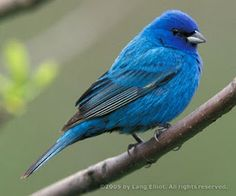 Indigo Bunting.  The Indigo Bunting is a small bird, with a length of 11.5–13cm (4.5–5in). It displays sexual dimorphism in its coloration; the male is a vibrant blue in the summer and a brown color during the winter months, while the female is brown year-round. The male displays brightly colored plumage during the breeding season to attract a mate.
