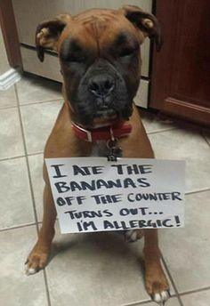 One dog ended up scoffing the bananas in the kitchen and gave itself an allergic reaction. Dog Shaming Pictures, Funny Dog Pictures, Funny Boxer, Funny Dogs, Funny Animal Quotes, Funny Animals, Animals Dog, Boxer Dog Quotes, Dog Memes