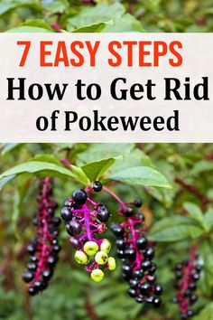 7 Easy Steps - How to Get Rid of Pokeweed Gardening For Beginners, Gardening Tips, Vegetable Gardening, Weeding Tips, Getting Rid Of Raccoons, Killing Weeds, Weed Types, Organic Weed Control, Tired Of Trying
