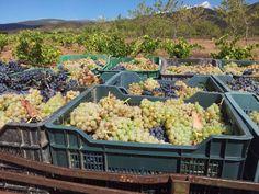 Uvas en Alcolea, Alpujarra de Almería. Proyecto Rumor.