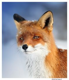 ~~European Fox (Vulpes vulpes) by Dexter Bressers~~