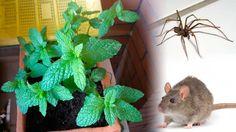 Tenga esta simple planta en su casa y nunca volverá a ver ratones, araña...