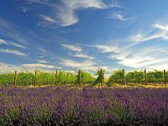 Lavender Field and Vineyard, Walla Walla, Washington, USA Photographic Print by Richard Duval at AllPosters.com