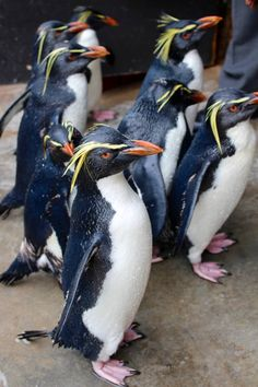 Two Oceans Aquarium's northern rockhopper penguins have grown to nine individuals. Seven of these rockhoppers are rescue cases, but two are hatchlings. Rockhopper Penguin, Penguin Life, Ocean Aquarium, Penguins, Learning, Studying, Penguin, Teaching, Onderwijs