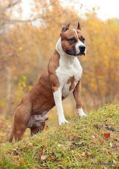 American Staffordshire Terrier Dog Breed Information, Popular Pictures Amstaff Terrier, Terrier Dog Breeds, Pitbull Terrier, Terrier Mix, Best Dog Breeds, Best Dogs, I Love Dogs, Cute Dogs, Funny Dogs