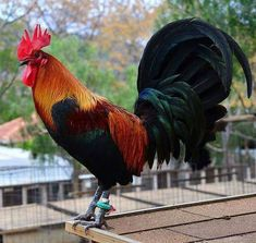 Tips To Stop Chickens From Pecking One Another – Chicken In The Shadows Fancy Chickens, Keeping Chickens, Chickens And Roosters, Raising Chickens, Backyard Birds, Chickens Backyard, Exotic Birds, Colorful Birds, Thunder Chicken