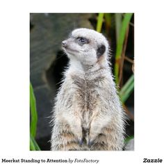 Meerkat Standing to Attention Postcard