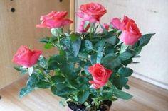 Grădinărit Archives - Page 2 of 18 - Fasingur Diy And Crafts, Flowers, Roses, Sun, Plant, Pink, Florals, Rose, Flower