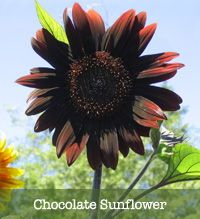 ~plant a chocolate scented garden!( Seriously doesn't get any better than chocolate sunflowers)