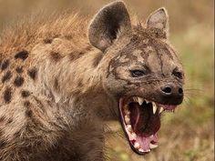 Humanos, hienas y glaciares: ¿Qué sucedió en la sierra de Atapuerca hace 600.000 años? | Reflexiones de un primate