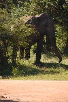 Elephant in Yala National Park, Sri Lanka