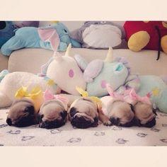Sleepy pug puppies, all in a row.
