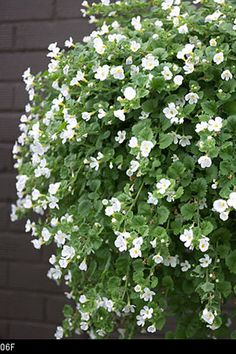 Nothing looks fresher in a garden than green and white and nothing lasts longer, from the start of summer right through to autumn, than bacopa. Don't dismiss bacopa as backup: this outrageously pretty trailer is not only an invaluable filler for containers, making the frilliest of edges, but looks gorgeous solo, its green stems smothered with snow-white flowers. Just try it in a hanging basket or windowbox, and you'll be hooked. WHAT IT NEEDS Full sun or part shade WHERE TO PLANT IT In co...