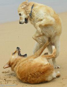 Golden retrievers playing (ferocious)